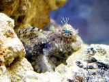 Our beautiful blenny